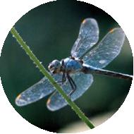 Dragonfly-Circle-1