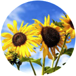 Sunflower-Circle-1